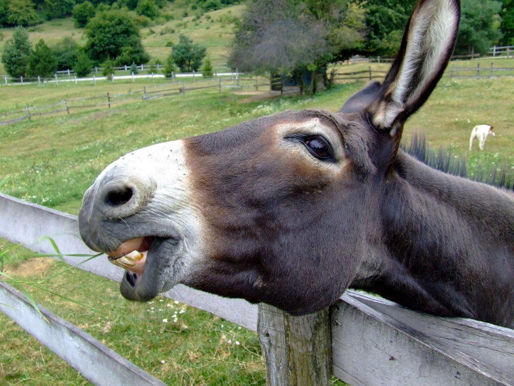 Donkey - Democrats