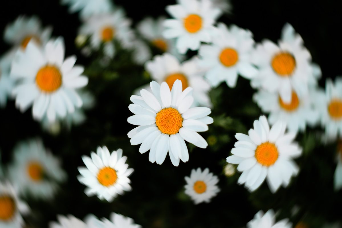 Pexels - Just a pretty close up on a bunch of daisies.
