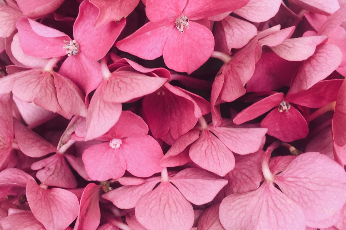 Pexels - A close-up on a large bunch of pink flowers