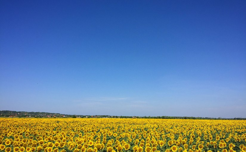 Pexels - A field of sunflowers under a bright blue sky
