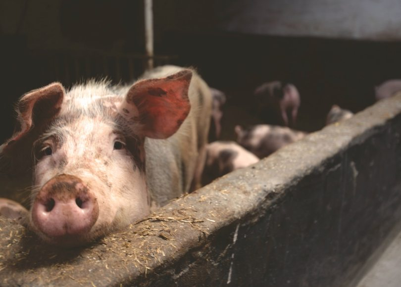 Pexels - A pig with piglets in a pig pen