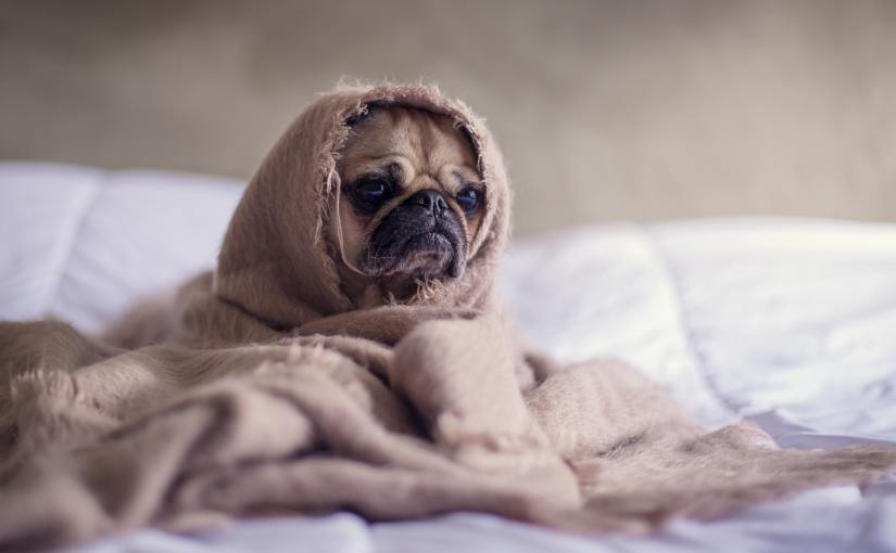 Pexels - a sad-looking brown pug sits all wrapped up in a blanket.