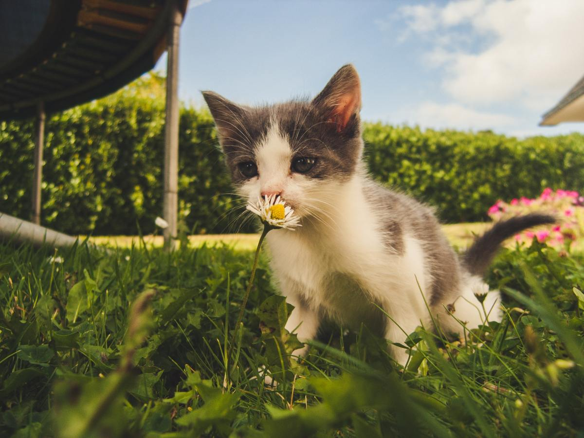 Pexels - A gray and white kitty outside sniffing a daisy