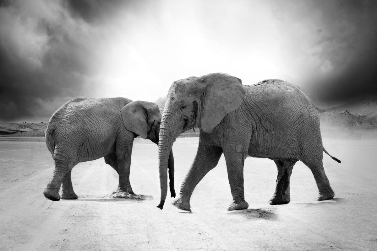 Pexels - A grayscale photo of two African elephants
