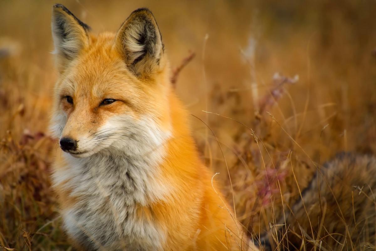 A fox in a field, looking leftwards - Pexels