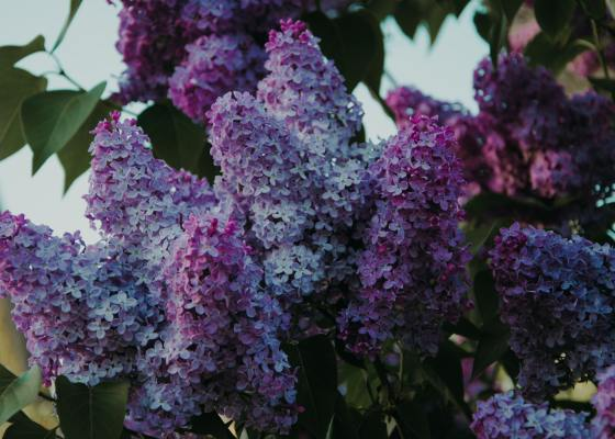 Pexels - Closeup on a lilac tree in full bloom